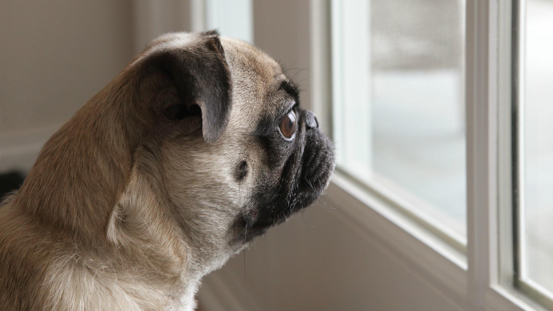 consejos-para-cuando-tu-perro-se-quede-solo-en-casa