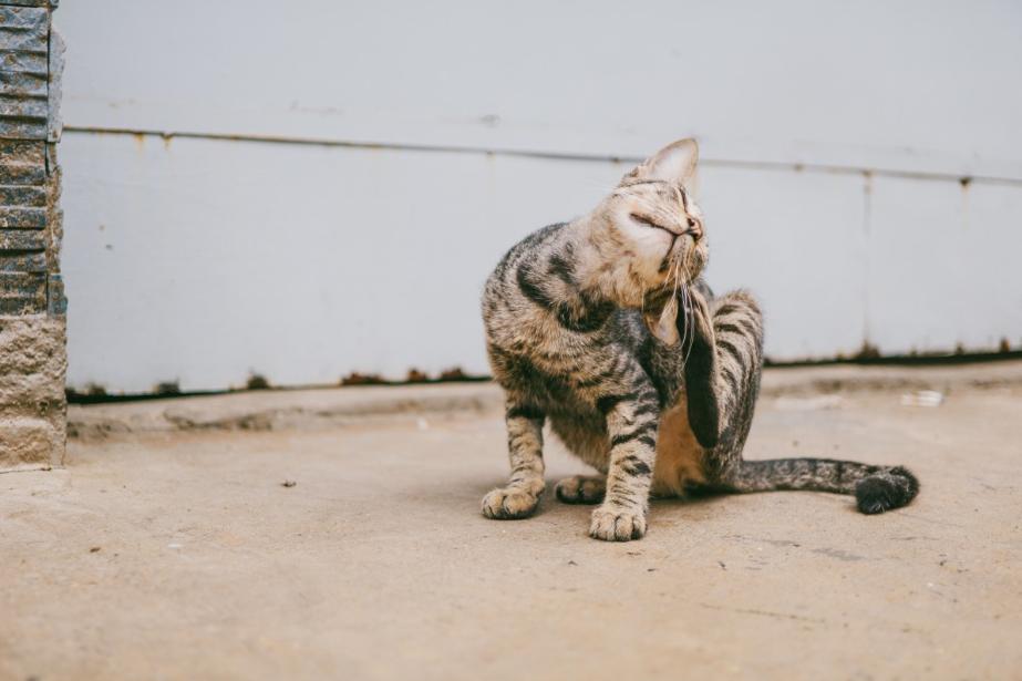 Los cuatro problemas de salud más comunes en gatos
